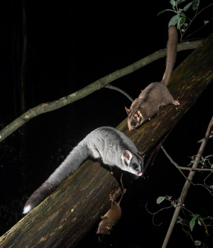 """A sugar glider, Leadbeater's possum, and antechinus in native forest. The Leadbeater's possum (top) is listed as """"critically endangered"""" by the International Union for Conservation of Nature. Photo supplied: Wildlife of the Central Highlands."""