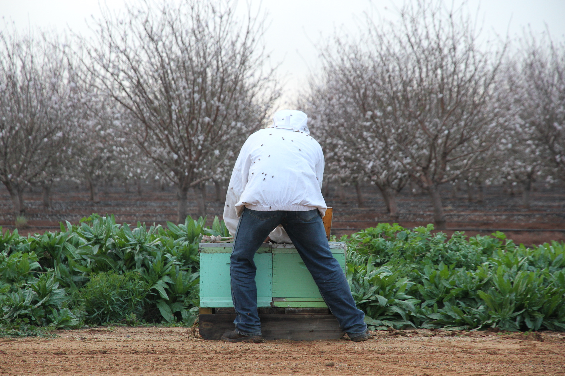 As almond orchards blossom, a sting in the tail when busy bees get to work