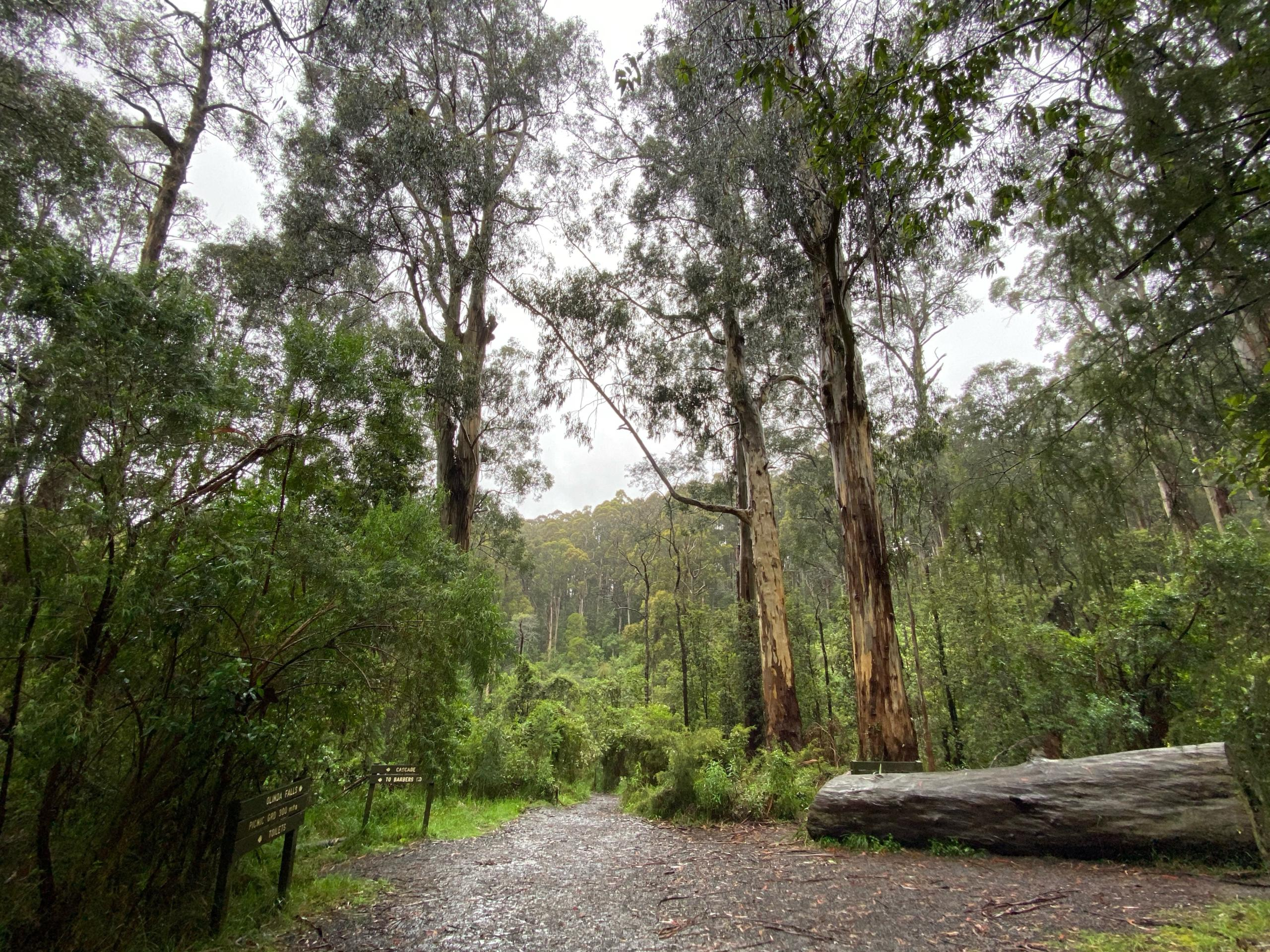 Mountain ash (Eucalyptus regnans) are the tallest flowering plants in the world,with known past specimens reaching 100 metres in heightand 34 metres around the trunk. Their alpine ash cousins (Eucalyptus delegatensis) aren't far behind.Mountain ash trees occupy small niches in the mountains of Victoria and New South Wales. Photo: Amalyah Hart